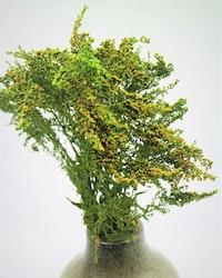 Solidago - Grön