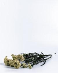 Konserverad Diosmi - Vit