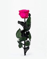 Singel Evighetsros - Rosa