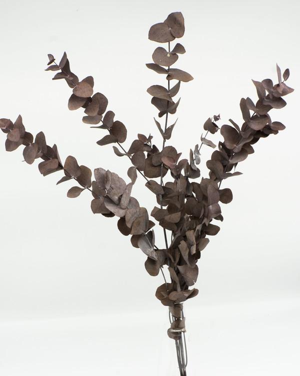 Eucalyptus cinerea - mörkgrön