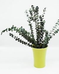 Konserverad Eucalyptus Baby