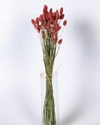 Phalaris 100 gr- Rosa