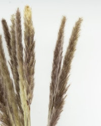 Mini Pampasgräs- Naturell - 70cm -10 st.
