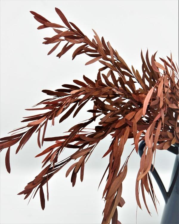 Konserverad Eucalyptus Nicoli - Röd