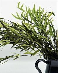 Konserverad Eucalyptus Nicoli - Grön