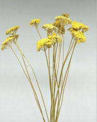 Achillea Filipend - Naturell gul
