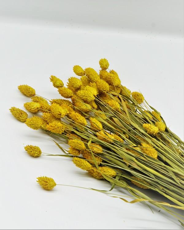 Phalaris gul - 100 gr.