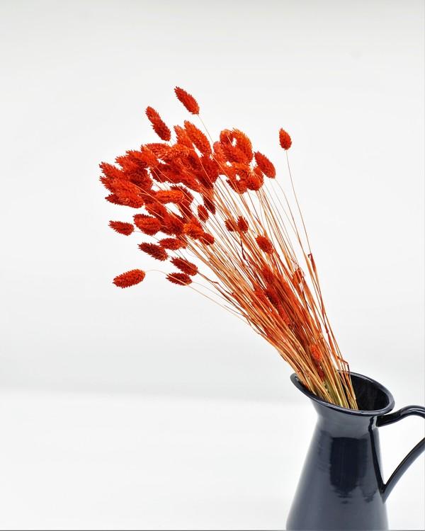 Phalaris röd - 100 gr.