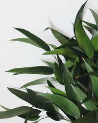 Konserverad Eucalyptus Willow - Grön