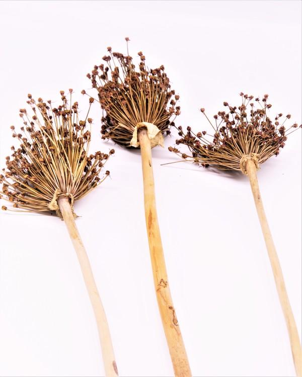 Allium - Naturell