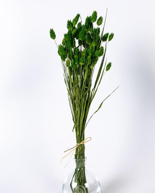 Phalaris - Grön
