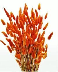 Lagurus - Röd