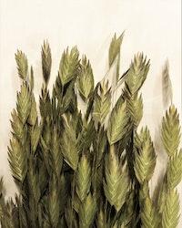 Chasmantium - Naturell