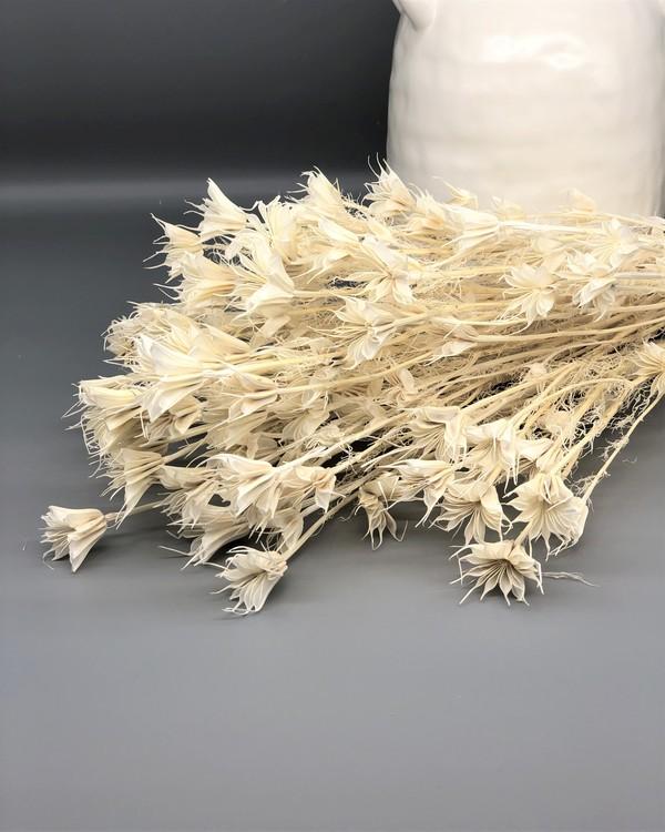 Nigella Orientalis - Blekt vit