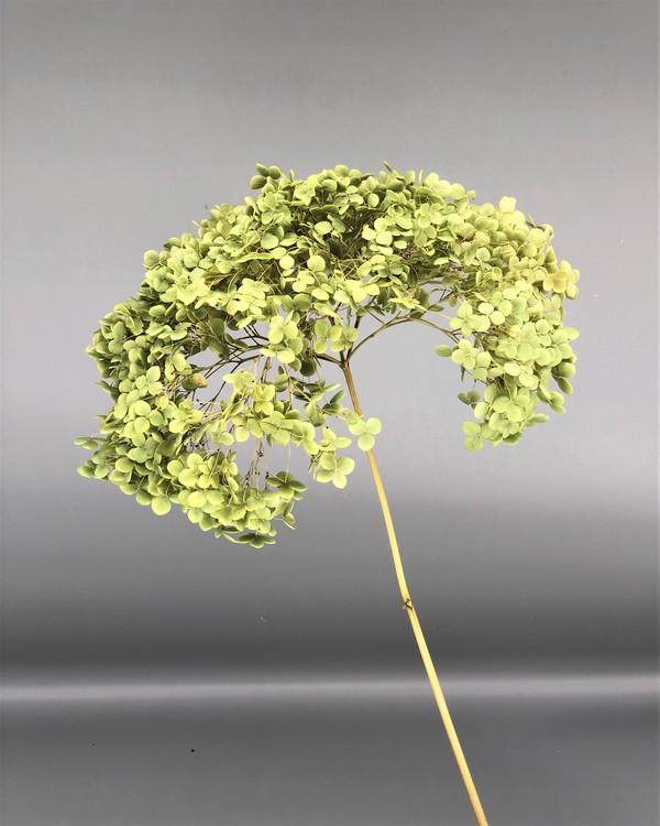 Hydrangea Grön - 60 cm