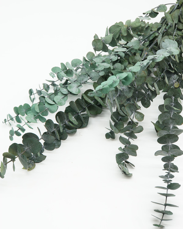 Konserverad Eucalyptus Baby -Grön Blå