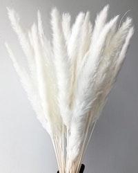 Mini Pampasgräs- Blekt vit- 70cm -10 st.