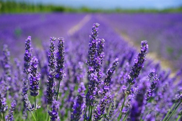Doftolja Lavender