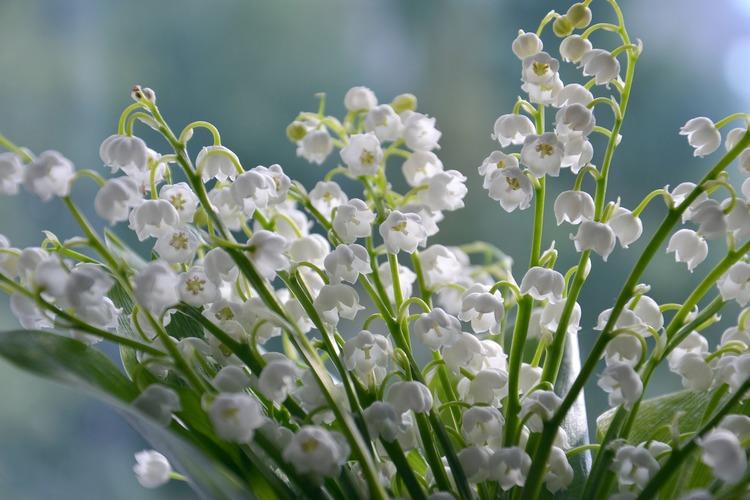 Doftolja Lily Of The Valley