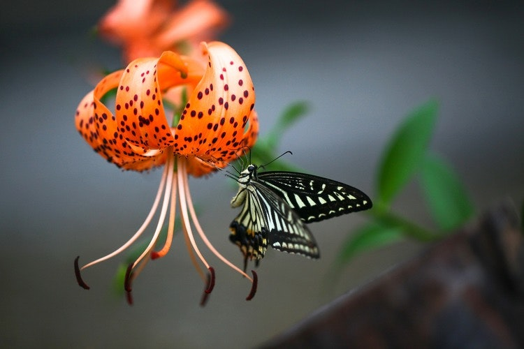 Doftolja Tigerlily