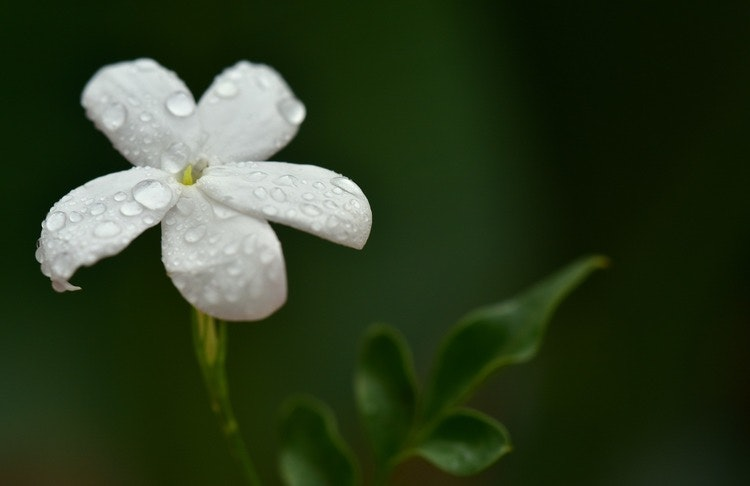 Doftolja Meadow Lily & Cotton Mysk