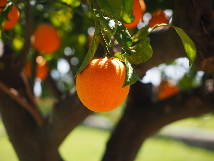 Essential Oil Sweet Orange