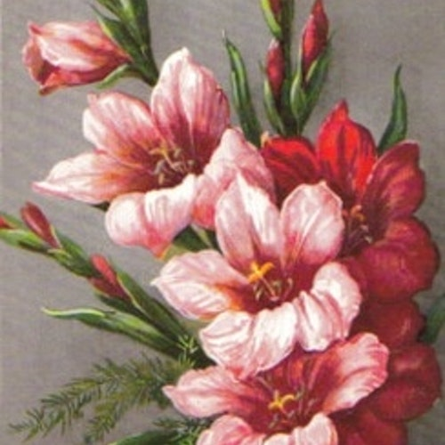 SB 077c Gladiolus, stor