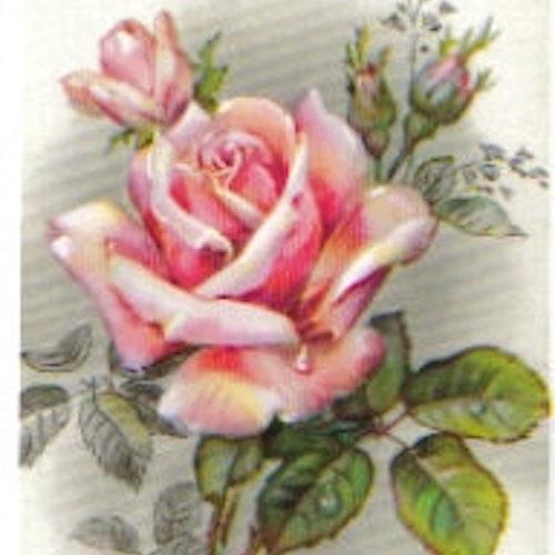 SB 046 Rosa ros
