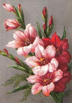 SB 077a Gladiolus