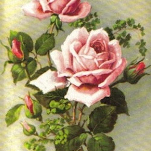 SB 080b Rosa rosor, mellanstor