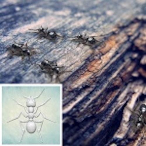 ProSvet Silikonform, Ant XS md1182