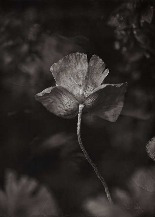 The Poppy Flower