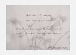 Garden Cosmos