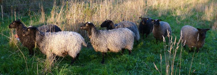 Kopia Tvättad fårull