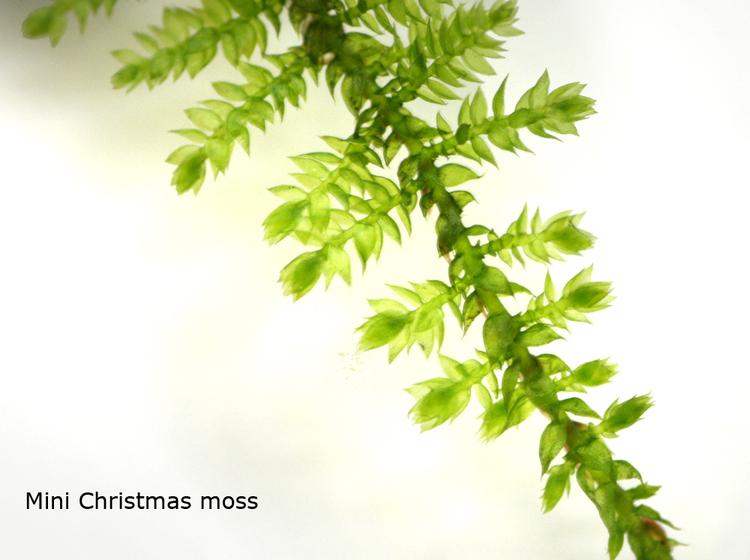 Mini christmas moss