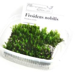 Fissidens nobilis