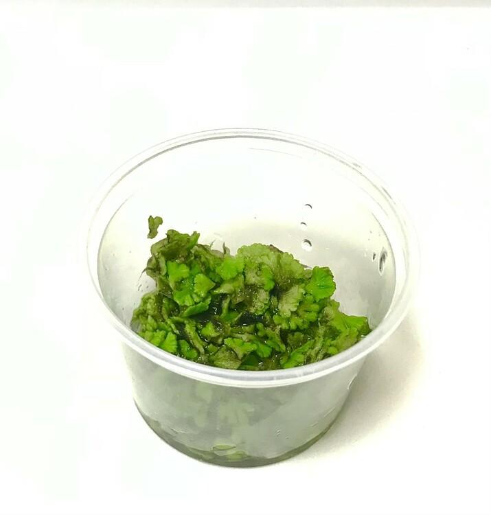 Ricciocarpus natans