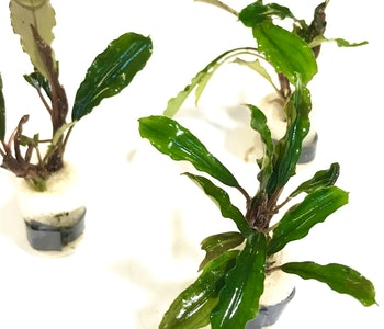 Bucephalandra Melawi Fine Edge
