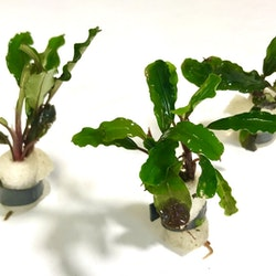 Bucephalandra Lo Green