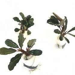 Bucephalandra Giant Catherine