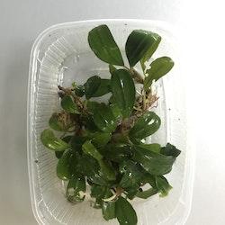 Bucephalandra Mini Venus