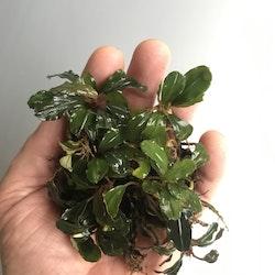Bucephalandra Lamandau Round