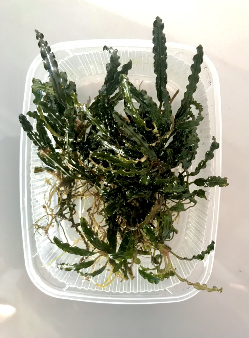 Bucephalandra Pinoh