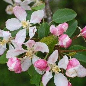 CRAB APPLE Blomessens