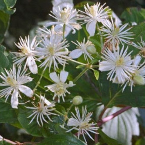 CLEMATIS Blomessens