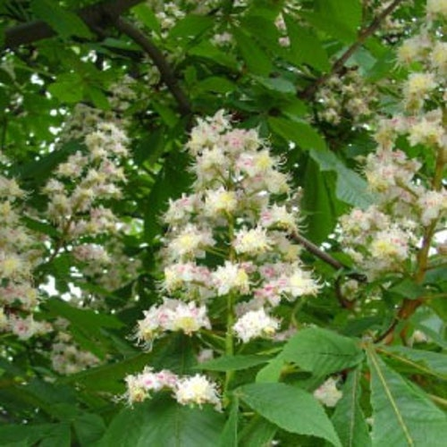 WHITE CHESTNUT Blomessens