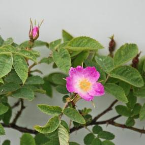WILD ROSE Blomessens
