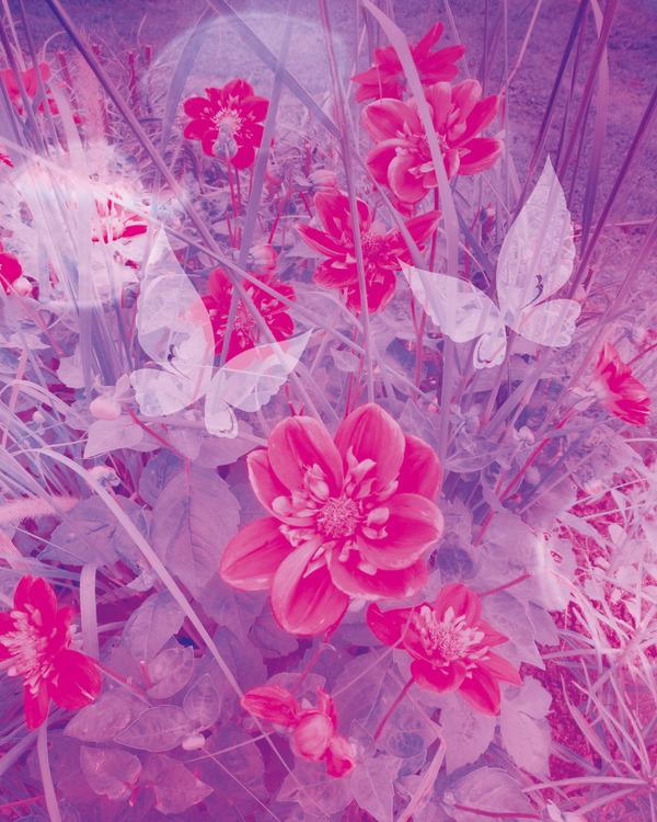 "Graphic Art ""Rose garden"""