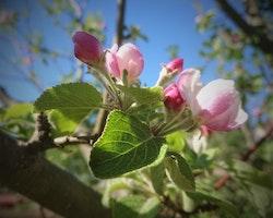Gåva: Äppelträd