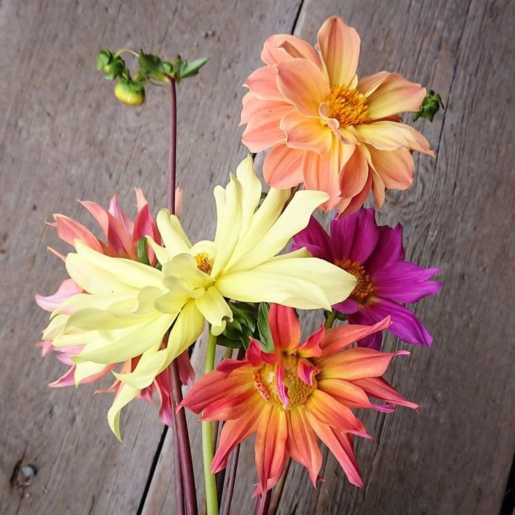 Blomma Dahlia